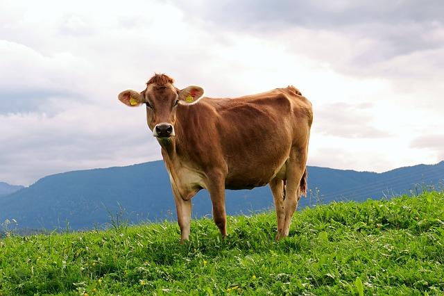 cow-950227_640